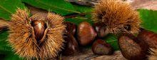 Castagne: quando raccoglierle come conservarle e cucinarle
